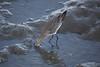 Maçarico (Carlos Santos - Alapraia) Tags: maçarico ngc ourplanet animalplanet canon nature natureza wonderfulworld highqualityanimals unlimitedphotos fantasticnature birdwatcher ave bird pássaro