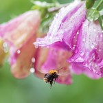 Bombus Pascuorum or Common Carder Bee thumbnail