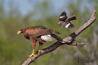 harris hawk and mockingbird