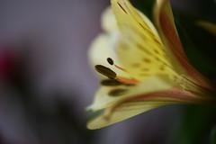 DSC_0326 Alstroemeria (PeaTJay) Tags: nikond750 sigma reading lowerearley berkshire macro micro closeups gardens indoors nature flora fauna plants flowers alstroemeria