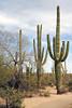 Saguaro Nat'l Park - Mountain District - 2018 (tonopah06) Tags: saguaronationalpark saguaro cactus cacti az arizona 2018 bajada landscape desertdiscoverytrail mountaindistrict west nature trail forest