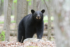 Black Bear (av8s) Tags: blackbear bear nature wildlife photography nikon d7100 sigma 120400mm pennsylvania pa