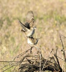 Lark Sparrow (AmyEHunt) Tags: larkparrow sparrow bird wildlife wild animal canon colorado mating wood sticks grass nature