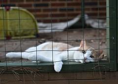 Otis in the cat enclosure (rootcrop54) Tags: otis dilute orange ginger tabby male cat catenclosure summerheat neko macska kedi 猫 kočka kissa γάτα köttur kucing gatto 고양이 kaķis katė katt katze katzen kot кошка mačka gatos maček kitteh chat ネコ