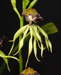 Octopus orchid (Prosthechea cochleata) flower (shadowshador) Tags: octopus orchid prosthechea cochleata neomura eukaryota archaeplastida plantae plant plants tracheobionta spermatophyta magnoliophyta liliopsida liliidae lilianae asparagales orchidaceae epidendroideae epidendreae laeliinae taxonomy scientific classification biology botany wildlife life orchidology orchids jungle jungles rainforest rainforests chesterzoo chester zoo