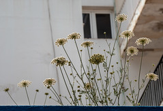 San Antonio, Ibiza. 2018. (CWhatPhotos) Tags: cwhatphotos photographs photograph pics pictures pic picture image images foto fotos photography artistic that have which contain olympus camera holiday holidays hols hol june 2018 ibizan ibiza san antonio bay june2018 spain weeds weed plant nature building roof flys insects
