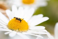 Hylaeus Bee (oandrews) Tags: 30dayswild bee bees canon canon70d canonuk garden hylaeus insect insects invertebrate invertebrates minibeast minibeasts nature outdoors wildlife