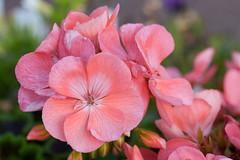 (taleuxeric) Tags: rose pink fleur fleurs floral flowers macrophoto macrophotography