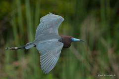 Little Blue Heron (adult) (Earl Reinink) Tags: outside oudoors earl reinink earlreinink bird animal wildlife nature flight flying heron littleblueheron aeoaduodza