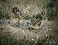 _T3A0893 (M Coopwood) Tags: owl owllet chicks birds wildlife nature