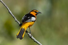 Clarke_180622_3656.jpg (www.raincoastphoto.com) Tags: icterusbullockii birds thrusheslarksandpipits birdsofcanada bullocksoriole birdsofnorthamerica birdsofbritishcolumbia