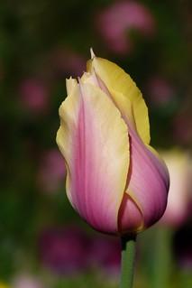 Lovely Tulip