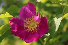 Rosa Nutkana Rose In Bloom 018 (Chrisser) Tags: flowers roses rosanutkana rosaceae nature ontario canada canoneosrebelt6i canonefs1855mmf3556isstmlens gardening garden fourseasons spring closeups