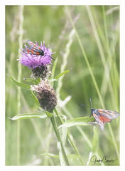 In sight (cornelis1980) Tags: photo image bugs insects butterflie butterfly moth red black dots green nature animals canon ef 100 mm f 28 double exposure color colour beautiful lovely 2 flower pink purple outdoor
