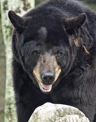 Florida black bear (Ursus americanus floridanus) (ucumari photography) Tags: ucumariphotography floridablackbear americanblackbear ursusamericanusfloridanus animal mammal naples florida fl may 2018 zoo dsc9537 specanimal