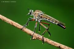 A Robber fly at rest. (MCSindagi) Tags: sonycybershotrx10iv sonyrx10iv sonyrx10m4 rx10iv rx10 bangalore karnataka robberfly bengaluru macro closeups telemacro affinityphotoforipad