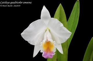 Cattleya quadricolor amoena