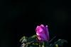 Dünenrose / Langeoog (jkiter) Tags: natur blume deutschland langeoog dünenrose nordsee pflanze bibernellrose flower germany nature burnetrose northsea plant niedersachsen de