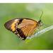 Mocker Swallowtail Butterfly
