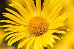 Yellow (Karen_Chappell) Tags: flower floral macro nature garden yellow daisy botanicalgarden stjohns newfoundland nfld canonef100mmf28usmmacro canada spring bokeh petals eastcoast avalonpeninsula atlanticcanada
