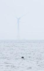 M2031689 E-M1ii 300mm iso200 f8 1_800s SingleAF (Mel Stephens) Tags: 20180603 201806 2018 q2 10x16 5x8 tall olympus mzuiko mft microfourthirds m43 300mm pro omd em1ii ii mirrorless newburgh uk scotland aberdeenshire animal animals nature wildlife fauna wind turbine turbines structure seal seals coast coastal seascape