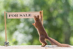 red squirrel hold a for sale sign (Geert Weggen) Tags: acrobat activist animal backlit bright buying cheerful closeup cute demanding horizontal house humor looking loveemotion mammal market nature passion photography playing protest protestor red rodent sale selling showing sign smiling sport square squirrel store sun sweden temperature walking welcome invite invitation forsale geert bispgården jämtland weggen ragunda
