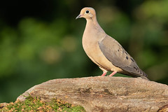 Mourning Dove (Matt Cuda - www.mattcuda.com) Tags: us usa bird birdwatching birding birds dove doves joy laterafternoon morning moss mourning nc northamerica northcarolina peace perched rock songbird songbirds