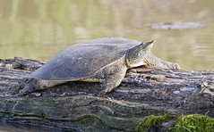 Eastern Spiny Softshell Turtle