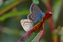 silver -studded blue (briangriffiths673) Tags: silver studded blue butterfly