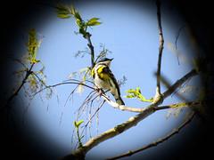 Myrtle Yellow-rumped Warbler (LouisvilleCardinal) Tags: mlwright myrtleyellowrumpedwarbler warbler