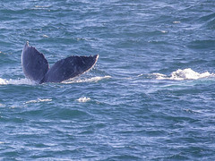 Tail (vk2gwk - Henk T) Tags: whale mammal animal marine humpback boatharbour
