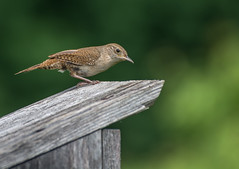 House Wren (tkclip47) Tags: house wren troglodytidae bird small song nest box coth5