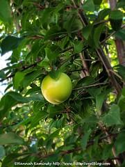 Green Plum (Bitter-Sweet-) Tags: vegan food healthy savory fruit sauce condiment glutenfree easy sugarfree sour spicy georgian recipe homemade marinade herbs