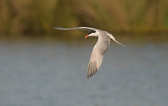 Common tern (Ratsiola) Tags: birds nature wildlife environment flight water terns grace beauty natural world