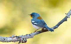Northern Parula (mandokid1) Tags: canon 1dx 600mm birds warblers