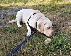 Gracie with ball in grass (walneylad) Tags: gracie dog canine pet puppy lab labrador labradorretriever cute june summer evening westlynn