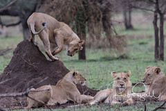 Lions in wait at what we suspected was a Warthog Hole (robsall) Tags: 2016 500mm 7dmark2 7dmarkii 7dm2 7dmii africa africatourism africawildlifephotography africanwildlife big bigcat bigcats canon canon500mmf4lisiiusm canon500mmf4 canon500mmf4lii canon500mmf4ii canon7dmark2 canon7dmarkii canon7d2 canon7dm2 canoneos canoneos7dmark2 canoneos7dm2 carnivore cat endangered family feline largefelines lion lioness lions mammal pantheraleo predator robsallaeiral robsalldrone robsalldronephotography robsallphotography robsallwildlifephotography tanzania tanzania2016 vacation vulnerable mararegion