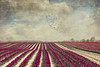blooming (Dyrk.Wyst) Tags: baumreihe bliumenfeld blumen blumenundpflanzen blã¼ten bã¤ume feld frã¼hling germany himmel kirschblã¼ten landschaft niederrhein ordnung reihen schleierwolken tulpen wolken allee alley blossoms cherryblossoms clouds dunst field flowers haze landscape lines lã¤ndlich order rural sky spring surreal trees tulips