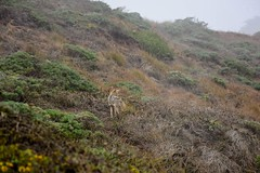 Snaggle Toothed Coyote (LauraJSwindle) Tags: landscape nikond7100 coast plants pointreyesnationalseashore coyote animals misty hills 2016 september2016 norcal northerncalifornia westcoast california wantaghfairfield nyca usa
