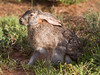 Homage to the Easter Bunny. African Scrub-Hare (jimbobphoto) Tags: rabbit hare bunny ado africa animal ears hoppy