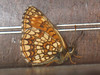 Melitaea diamina - False heath fritillary - Шашечница черноватая (Cossus) Tags: mellicta nymphalidae nymphalinae шашечница 2008 анциферово melitaea fritillary