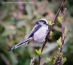 Long Tailed Tit (GemElle Photography - off & on sorry) Tags: gemelle gemellephotography gemelle1 nikon d610 sigma 50500mm tail longtailedtit tailed