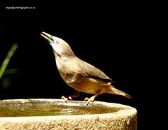 IMG_1718 Chestnut-tailed Starling (Sturnus malabaricus) (vlupadya) Tags: greatnature animal aves fauna indianbirds chestnuttailed starling sturnus kundapura karnataka