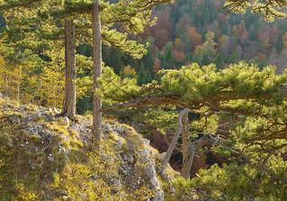 Backlit Pines, Tara National Park, Serbia