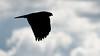 Hawk Silhouette (lennycarl08) Tags: hawk raptor birdofprey birds bird sillouette