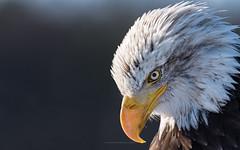 Bald Eagle - haliaeetus leucocephalus - Sany (ciwi.photography) Tags: weiskopfseeadler seeadler haliaeetusleucocephalus eagle baldeagle bird animal vogel