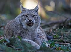 Lynx In Backlight (delopafoto) Tags: lynx luchs animal nature wildpark poing delopafoto carnivore predator