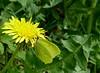 Perfekte Tarnung _ Perfect Camouflage (GuteFee) Tags: natur löwenzahn zitronenfalter brimstone dandelion grün gelb green yellow
