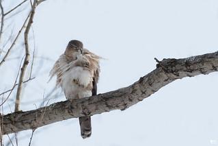 ''Se refaire une beauté!'' Épervier cooper-Cooper's hawk