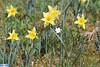 IMG_6065 (superingo78) Tags: monschau höfen narzissen blüte frühling natur schön